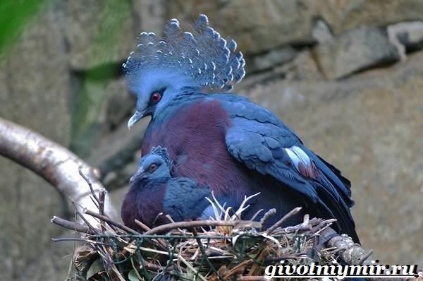 Венценосный-голубь-Образ-жизни-и-среда-обитания-венценосного-голубя-10