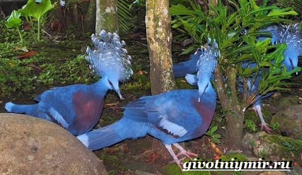 Венценосный-голубь-Образ-жизни-и-среда-обитания-венценосного-голубя-11