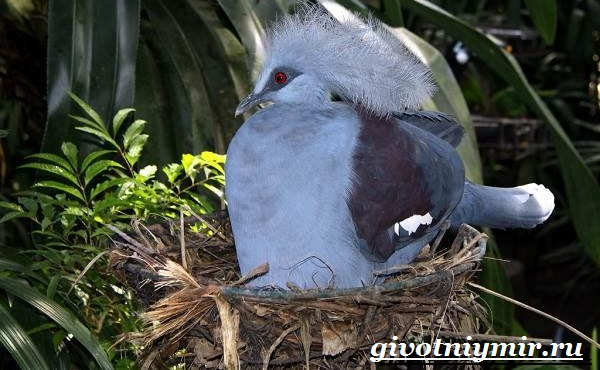 Венценосный-голубь-Образ-жизни-и-среда-обитания-венценосного-голубя-5