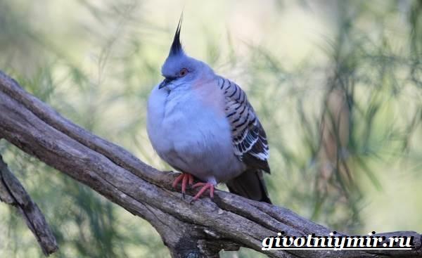Венценосный-голубь-Образ-жизни-и-среда-обитания-венценосного-голубя-7