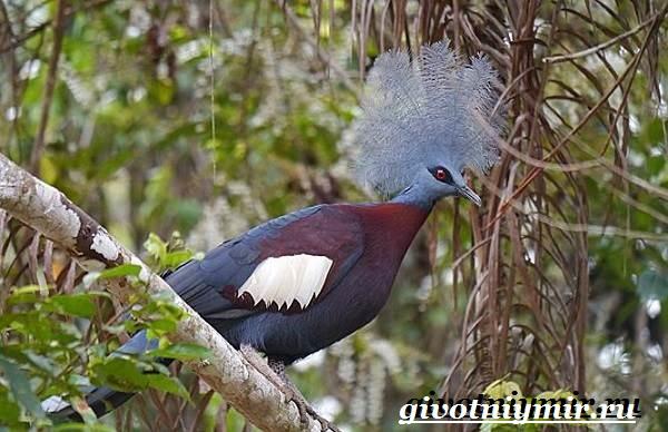 Венценосный-голубь-Образ-жизни-и-среда-обитания-венценосного-голубя-8