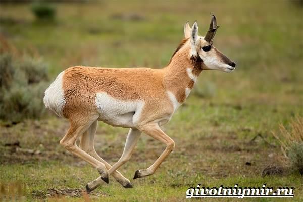 Вилорог-антилопа-Образ-жизни-и-среда-обитания-антилопы-вилорог-11