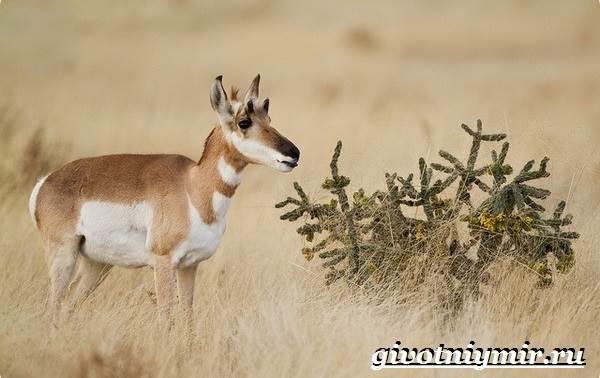 Вилорог-антилопа-Образ-жизни-и-среда-обитания-антилопы-вилорог-12