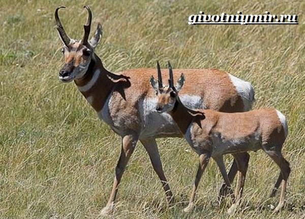 Вилорог-антилопа-Образ-жизни-и-среда-обитания-антилопы-вилорог-2