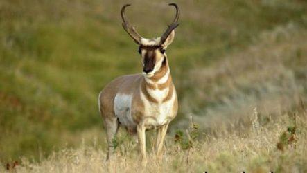 Вилорог антилопа. Образ жизни и среда обитания антилопы вилорог