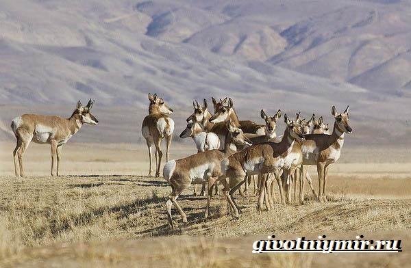 Вилорог-антилопа-Образ-жизни-и-среда-обитания-антилопы-вилорог-6