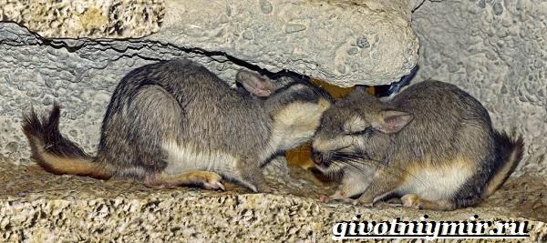 Вискаша-животное-Образ-жизни-и-среда-обитания-вискашы-14