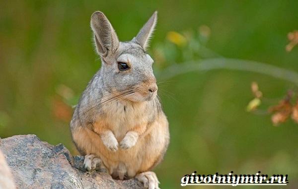 Вискаша-животное-Образ-жизни-и-среда-обитания-вискашы-18-1