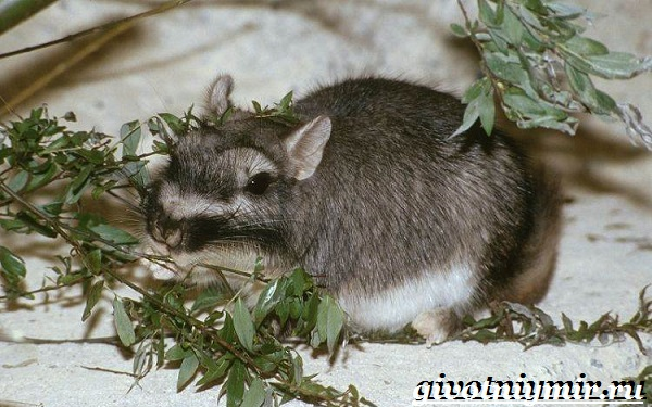 Вискаша-животное-Образ-жизни-и-среда-обитания-вискашы-20