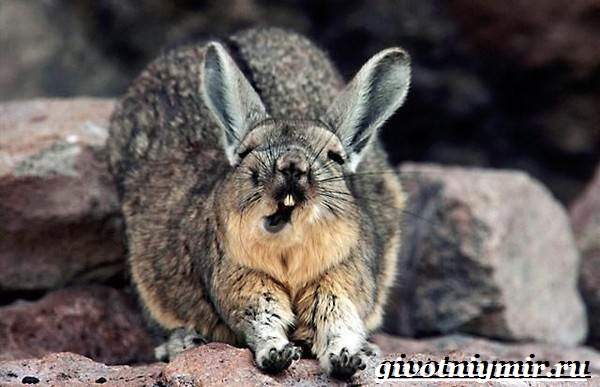 Вискаша-животное-Образ-жизни-и-среда-обитания-вискашы-4