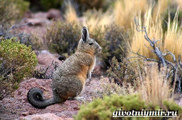 Вискаша-животное-Образ-жизни-и-среда-обитания-вискашы-5