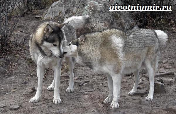 Волкособ-собака-Описание-особенности-уход-и-цена-волкособа-10