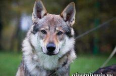 Волкособ собака. Описание, особенности, уход и цена волкособа