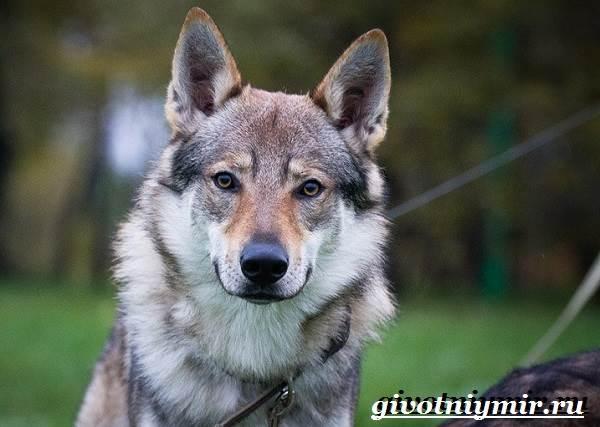 Волкособ-собака-Описание-особенности-уход-и-цена-волкособа-2