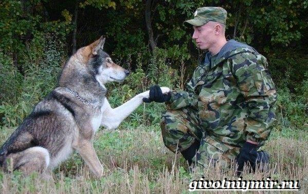 Волкособ-собака-Описание-особенности-уход-и-цена-волкособа-3