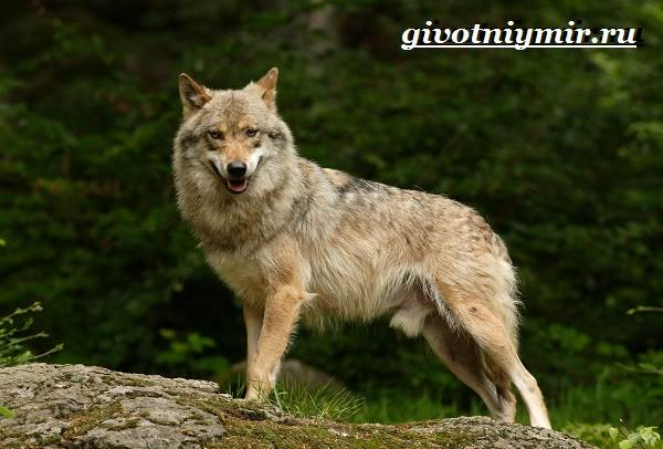 Волкособ-собака-Описание-особенности-уход-и-цена-волкособа-4