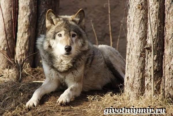 Волкособ-собака-Описание-особенности-уход-и-цена-волкособа-6