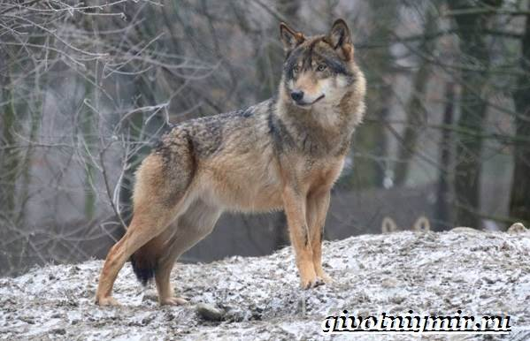 Волкособ-собака-Описание-особенности-уход-и-цена-волкособа-7