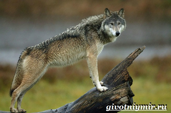Волкособ-собака-Описание-особенности-уход-и-цена-волкособа-9