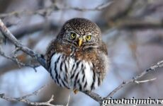 Воробьиный сыч птица. Образ жизни и среда обитания воробьиного сыча