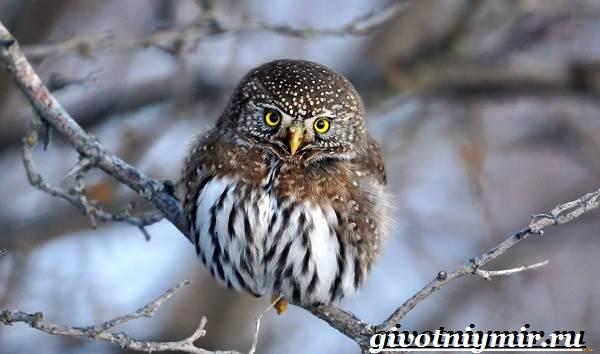 Воробьиный-сыч-птица-Образ-жизни-и-среда-обитания-воробьиного-сыча-1