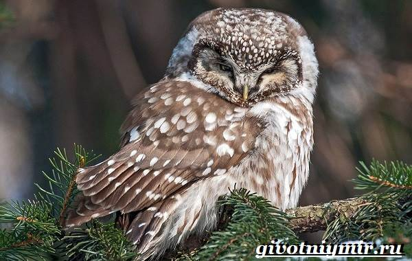 Воробьиный-сыч-птица-Образ-жизни-и-среда-обитания-воробьиного-сыча-2