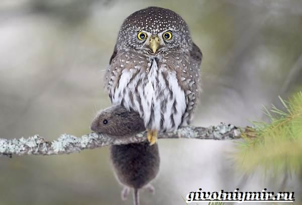 Воробьиный-сыч-птица-Образ-жизни-и-среда-обитания-воробьиного-сыча-4