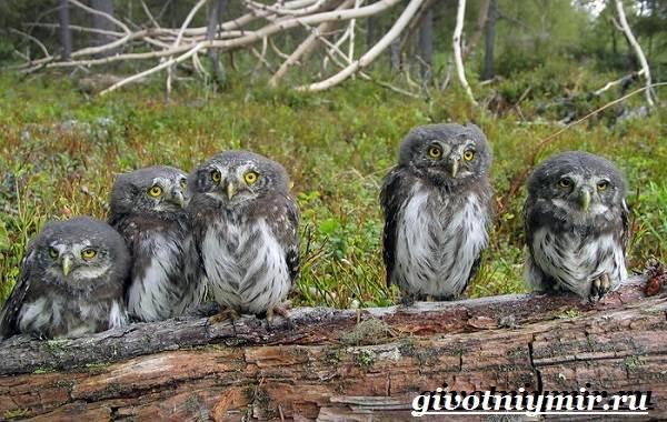 Воробьиный-сыч-птица-Образ-жизни-и-среда-обитания-воробьиного-сыча-5