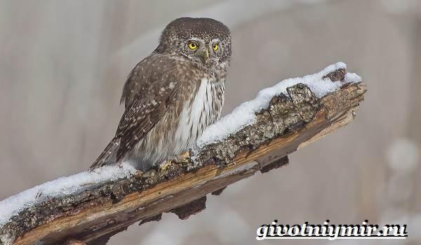 Воробьиный-сыч-птица-Образ-жизни-и-среда-обитания-воробьиного-сыча-6