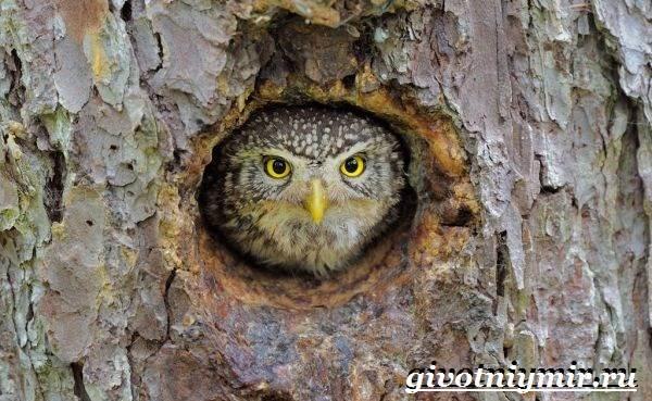 Воробьиный-сыч-птица-Образ-жизни-и-среда-обитания-воробьиного-сыча-7