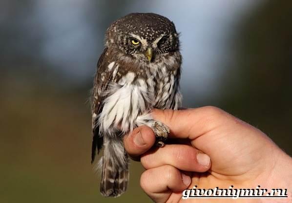 Воробьиный-сыч-птица-Образ-жизни-и-среда-обитания-воробьиного-сыча-8