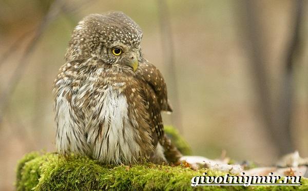 Воробьиный-сыч-птица-Образ-жизни-и-среда-обитания-воробьиного-сыча-9
