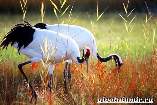 Японский-журавль-Образ-жизни-и-среда-обитания-японского-журавля-1