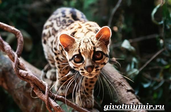 Животные-Бразилии-Названия-описания-и-особенности-животных-Бразилии-20