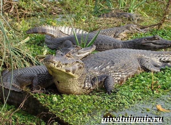 Животные-Бразилии-Названия-описания-и-особенности-животных-Бразилии-6