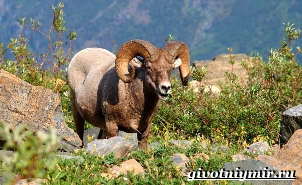 Животные-Северной-Америки-Названия-описания-и-фото-животных-Северной-Америки-10