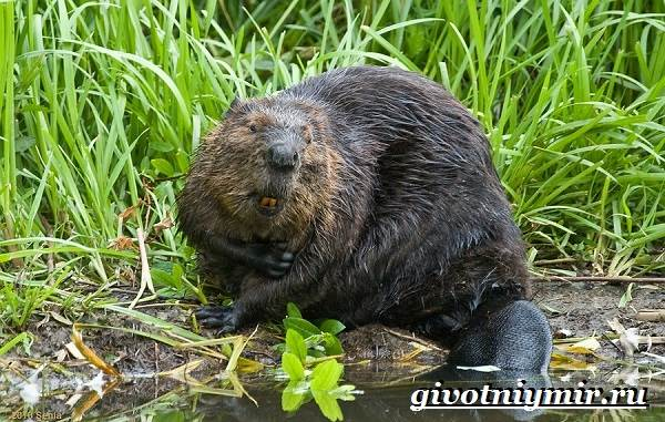 Животные-Северной-Америки-Названия-описания-и-фото-животных-Северной-Америки-11