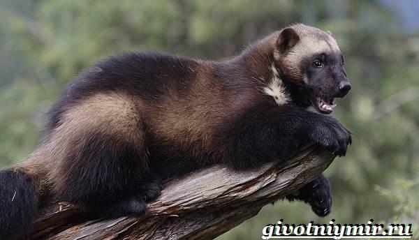Животные-Северной-Америки-Названия-описания-и-фото-животных-Северной-Америки-17