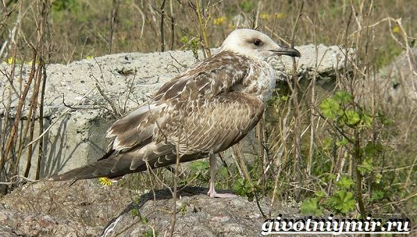 Животные-Северной-Америки-Названия-описания-и-фото-животных-Северной-Америки-29