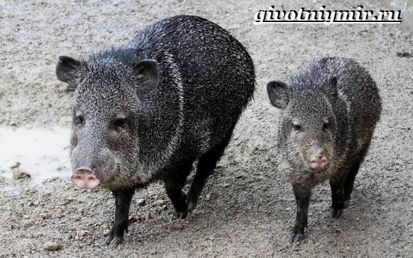 Животные-Северной-Америки-Названия-описания-и-фото-животных-Северной-Америки-6
