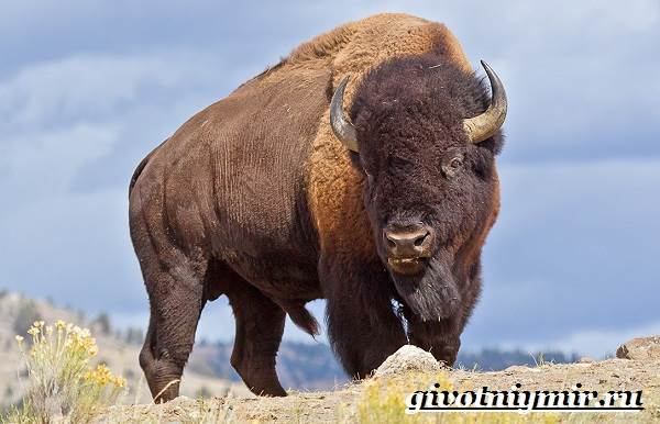 Животные-Северной-Америки-Названия-описания-и-фото-животных-Северной-Америки-8