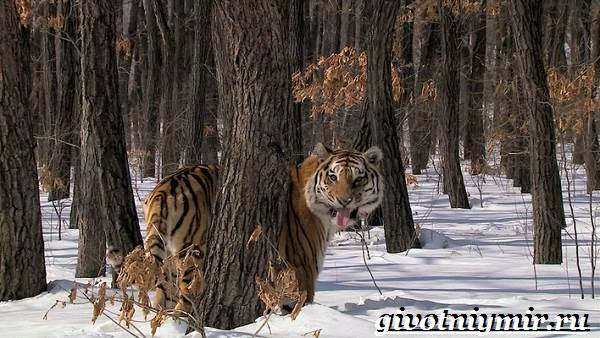 Животные-Сибири-Описание-и-особенности-животных-Сибири-1