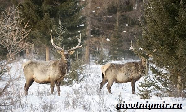 Животные-Сибири-Описание-и-особенности-животных-Сибири-10
