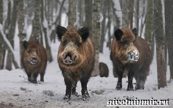 Животные-Сибири-Описание-и-особенности-животных-Сибири-12