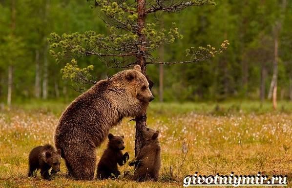 Животные-Сибири-Описание-и-особенности-животных-Сибири-15