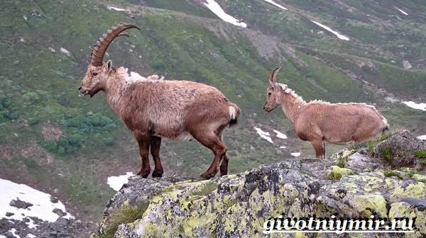 Животные-Сибири-Описание-и-особенности-животных-Сибири-16