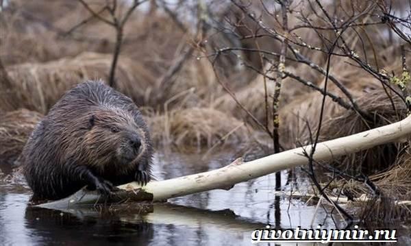 Животные-Сибири-Описание-и-особенности-животных-Сибири-19