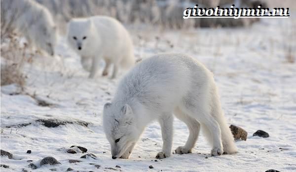 Животные-Сибири-Описание-и-особенности-животных-Сибири-5