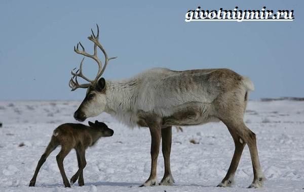 Животные-Сибири-Описание-и-особенности-животных-Сибири-7
