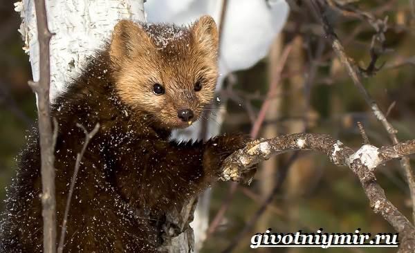 Животные-Сибири-Описание-и-особенности-животных-Сибири-9